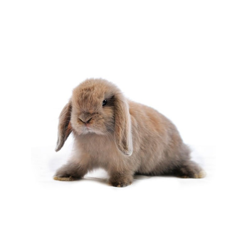 Conejo belier verdecora for Verdecora paterna