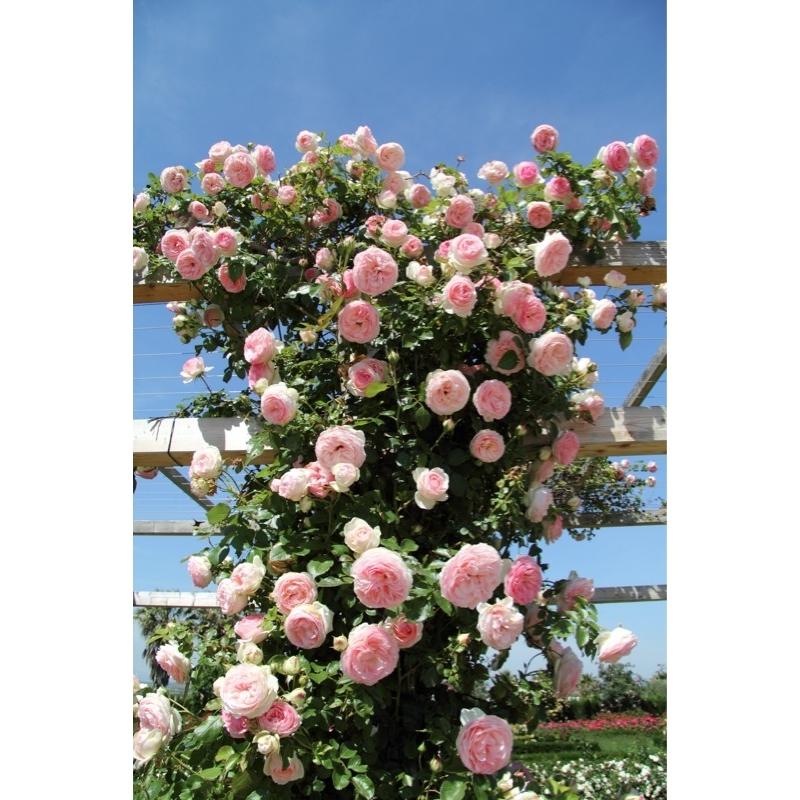 Rosal rosa - Rosales en macetas ...