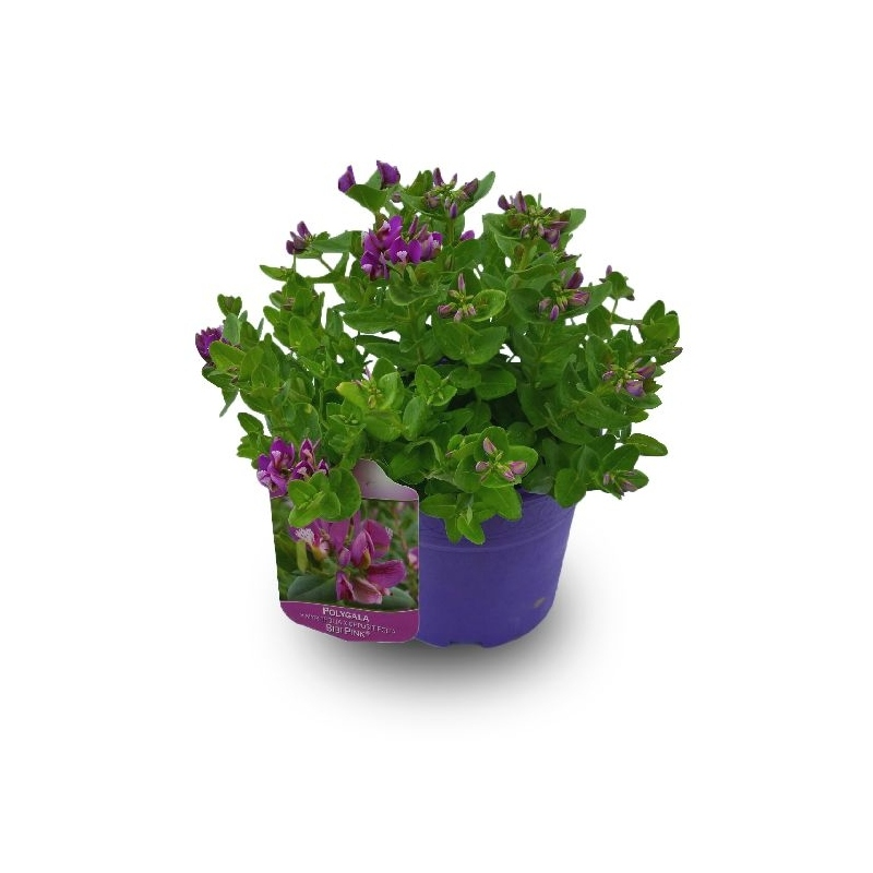 Polygala 3l maceta color verdecora for Verdecora torrelodones