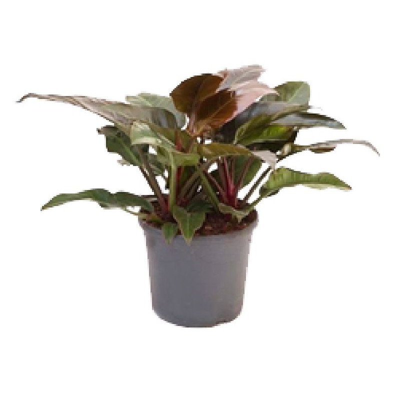 Planta verde m 6 verdecora - Plantas interior grandes ...
