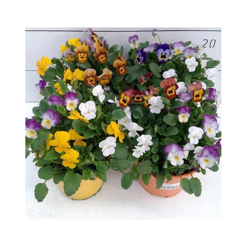 Viola maceta 13cm verdecora for Verdecora malaga