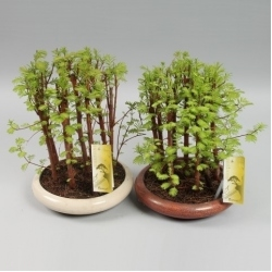 BONSAI BOSQUE SECUOYA