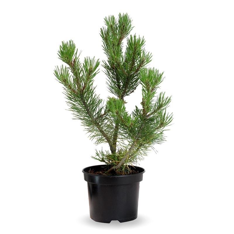 Pinus mugo maceta 3 litros verdecora for Verdecora malaga