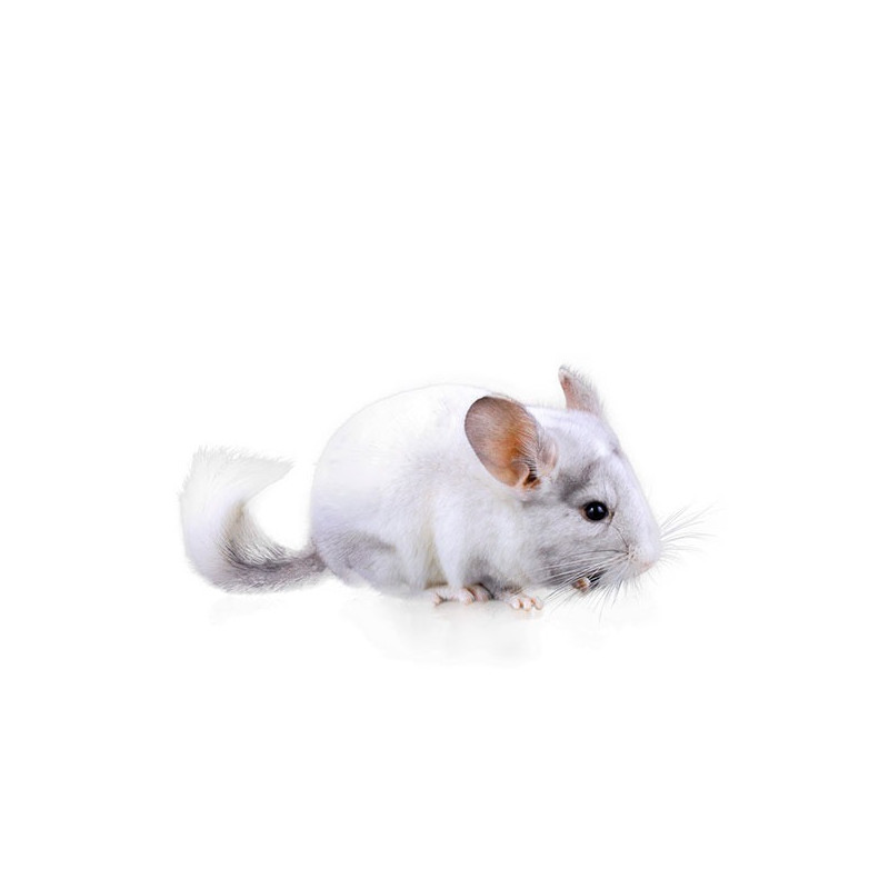 CHINCHILLA MOSAICO BLANCO