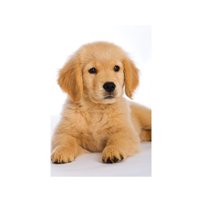 Golden retriever verdecora - Verdecora mascotas ...