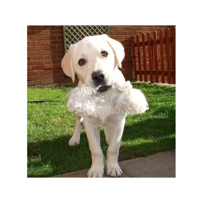 Labrador retriever verdecora - Verdecora mascotas ...
