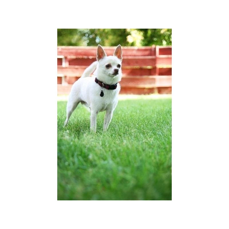 Chihuahua verdecora - Verdecora mascotas ...