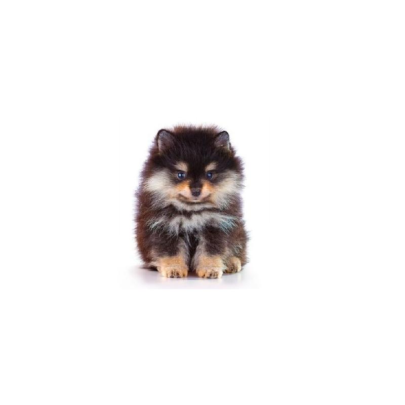 Pomerania verdecora - Verdecora mascotas ...