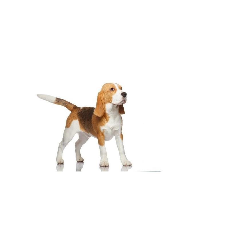 Beagle verdecora - Verdecora mascotas ...
