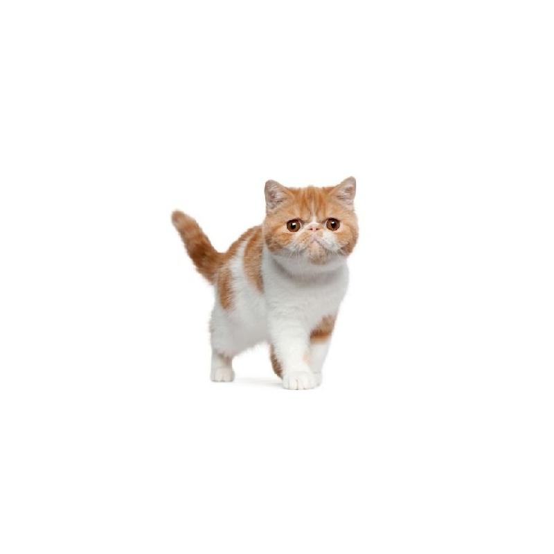 Gato exotico verdecora - Verdecora mascotas ...