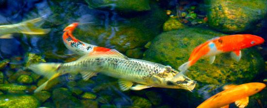 Plantas de estanque consejos verdecora for Plantas para estanque peces koi