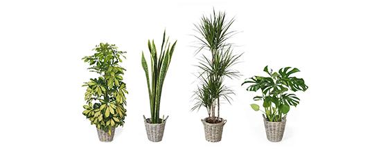 Dos propuestas de planta de interior verdecora for Plantas verdes de interior