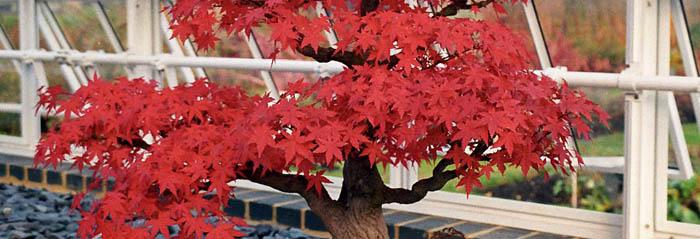 C mo elegir tu primer bonsai blog verdecora - Bonsai verdecora ...