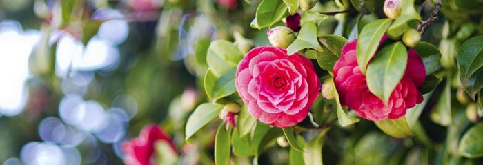 La flor de enero la camelia blog verdecora - Cuidados de la camelia ...