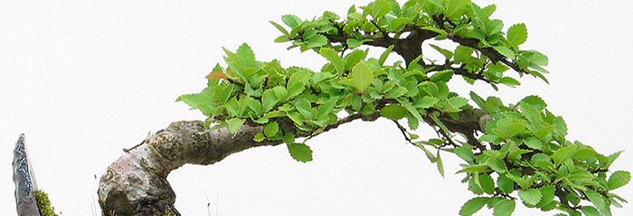 Cuidados el bonsai verdecora - Bonsai verdecora ...