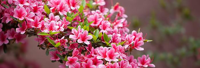 La azalea la pasi n que lleg de oriente blog verdecora - Azalea cuidados planta ...