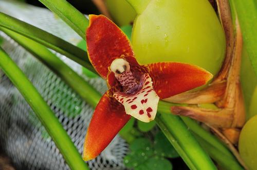 Además de lo característico de sus flores, la mayor seña de identidad de la Maxillaria es su olor a coco. Imagen: Abelard 1005