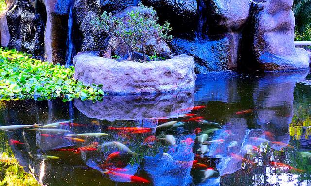 Peces koi el pez simb lico de oriente blog verdecora for Estanque moderno para peces koi