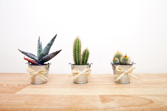 cactus-verdecora-crasas