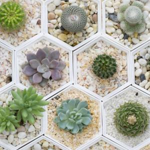 Echeveria una planta suculenta por descubrir blog verdecora for Especies de cactus