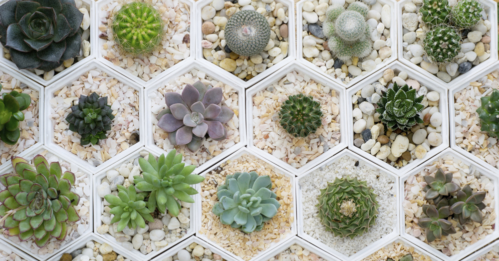 Cactus crasas y suculentas consejos verdecora for Cactus variedades
