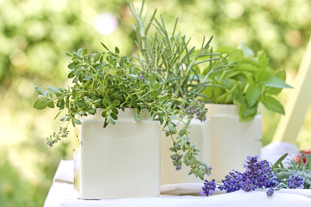 Planta arom tica campo y hogar consejos verdecora for Asociacion de plantas aromaticas