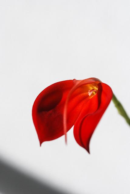 La orquídea Masdevallia ígnea se caracteriza por sus flores, compuestas solo de tres pétalos