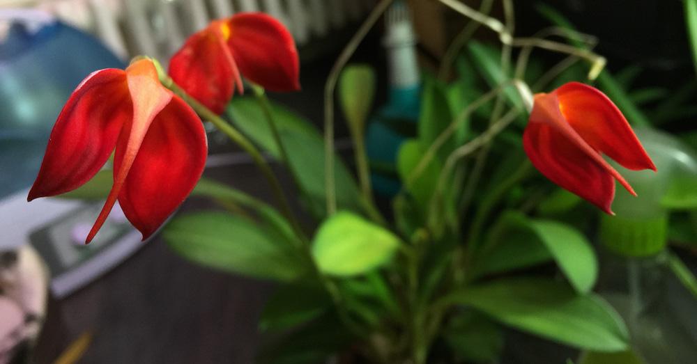 masdevallia-ignea-orquidea-verdecora