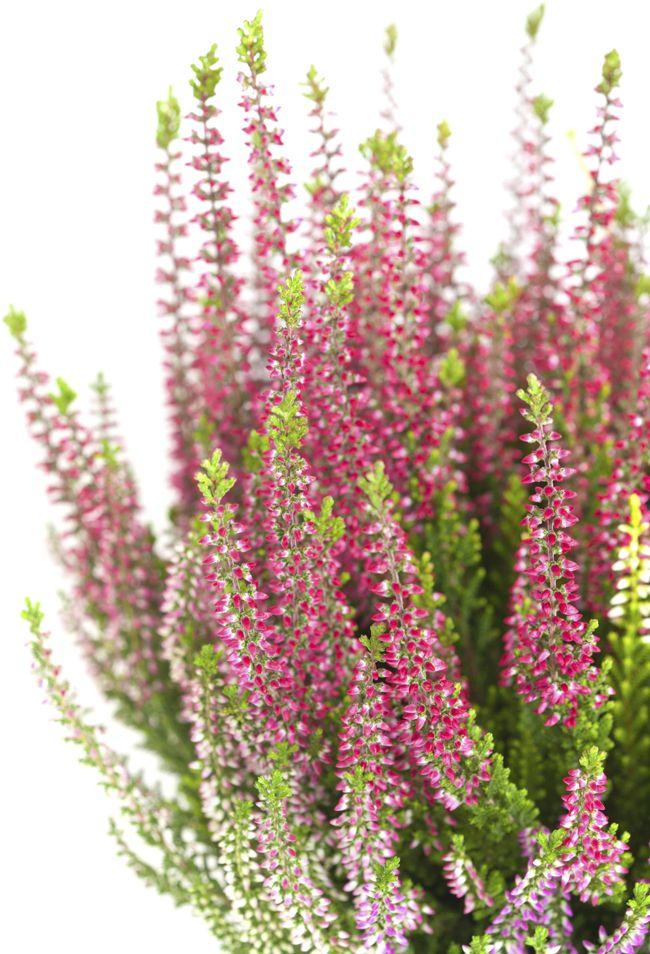 Calluna el brezo que fue escoba blog verdecora for Plantas de invierno exterior