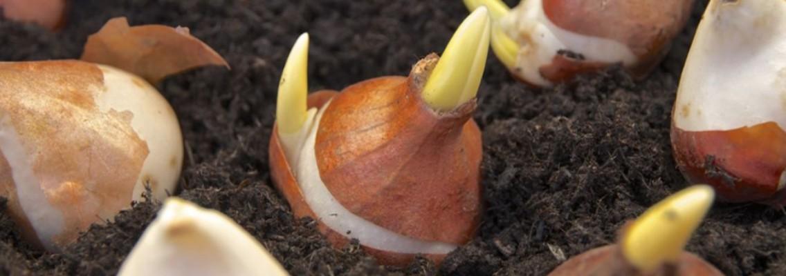 Bulbos de oto o preparar la flor del invierno blog - Bulbos de otono ...