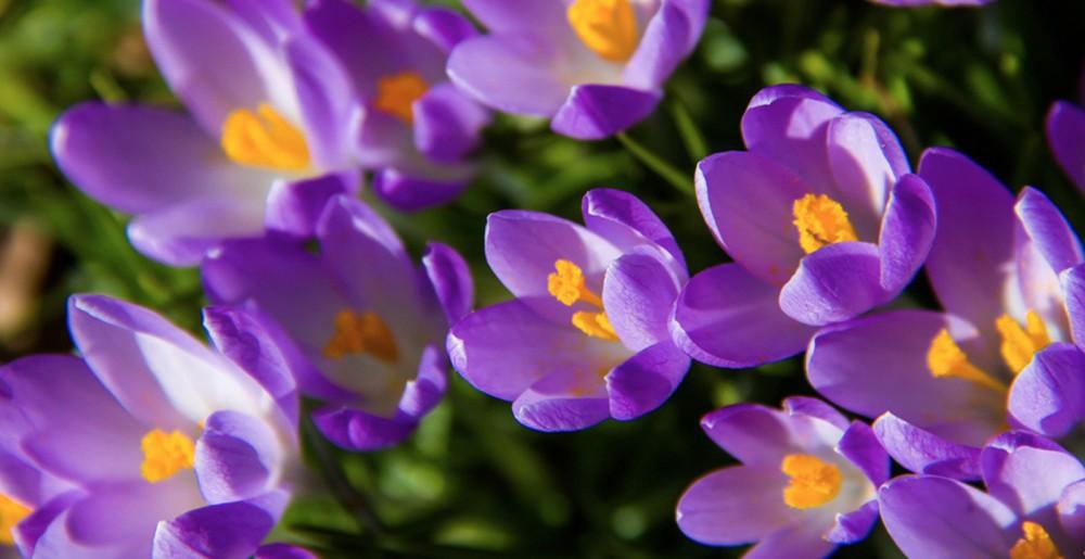 Bulbos de octubre plantar la primavera blog verdecora - Bulbos de otono ...