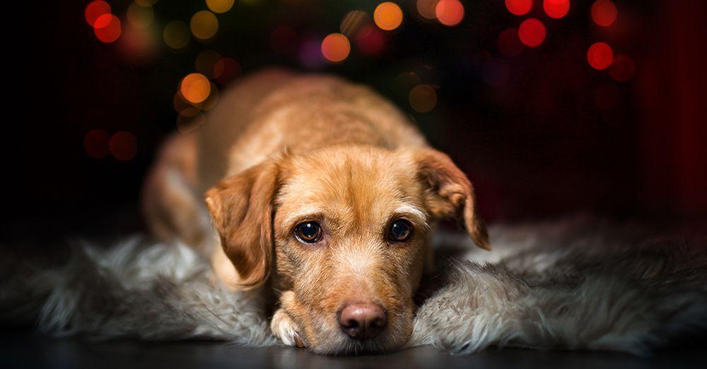 Vivir la navidad con mascotas consejos verdecora - Verdecora mascotas ...