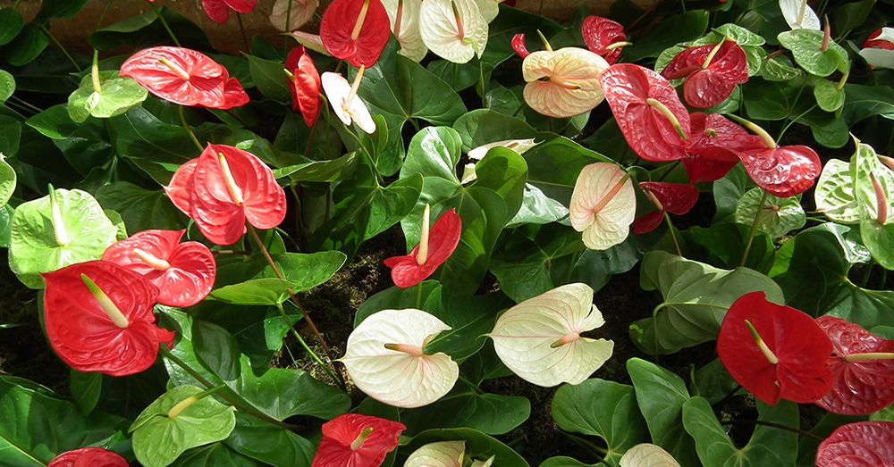 Tipos de plantas de interior con flor blog verdecora for Anturio cuidados