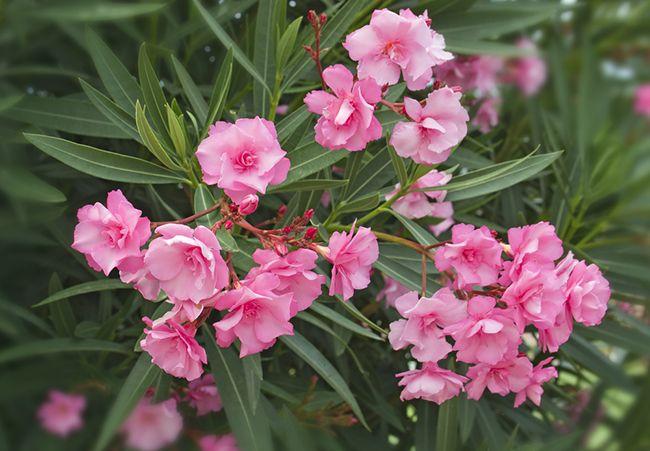 Cinco arbustos perfectos para el fr o consejos verdecora - Arbustos perennes con flor ...
