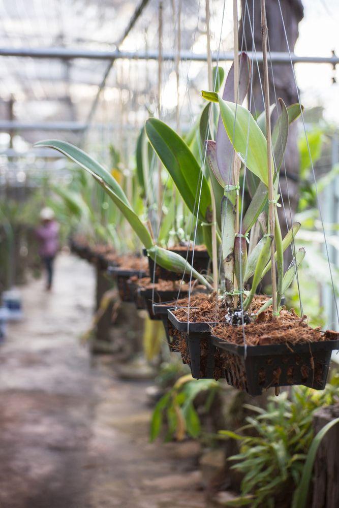 Algunas Orquídeas también se cultivan imitan sus condiciones naturales