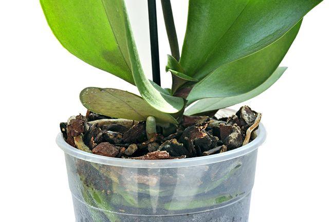 Las Orquídeas nos avisan de cuándo es momento de regar por el color de sus raíces
