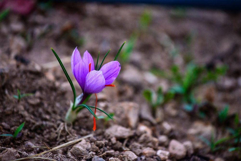 5 bulbos que todav a puedes plantar blog verdecora - Como cultivar azafran ...