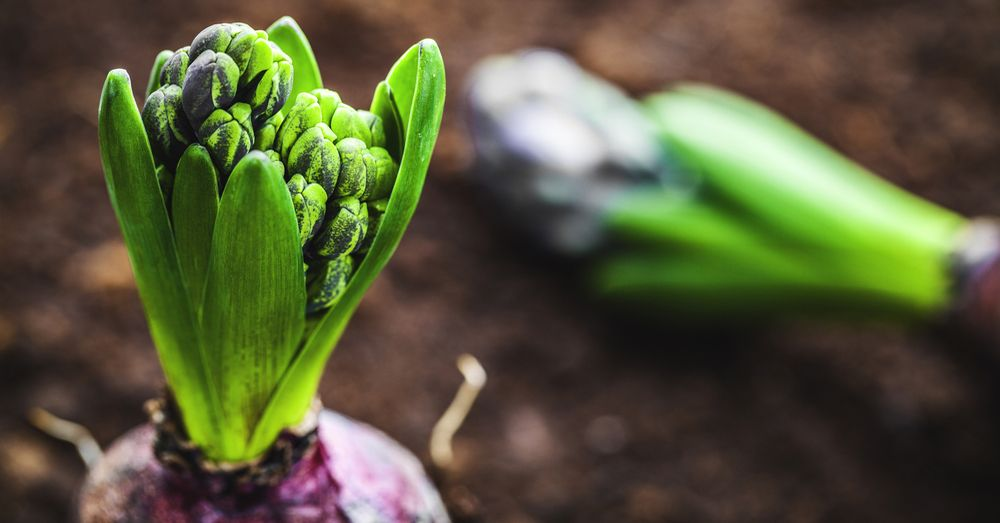 5 bulbos que todav a puedes plantar blog verdecora - Bulbos de otono ...