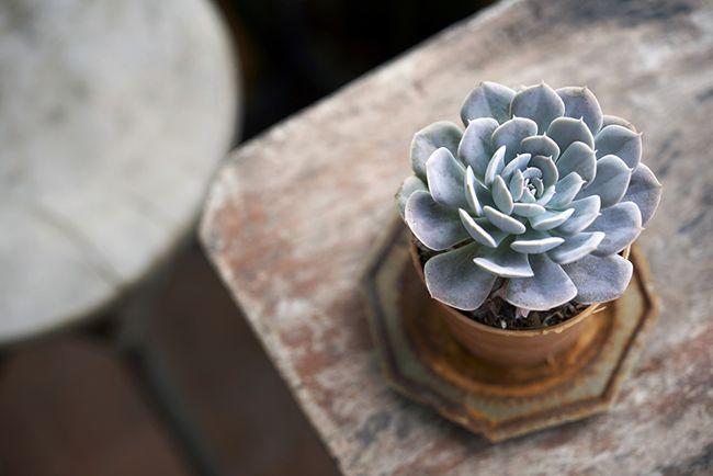 Las plantas suculentas necesitan un buen drenaje para evitar encharcamientos