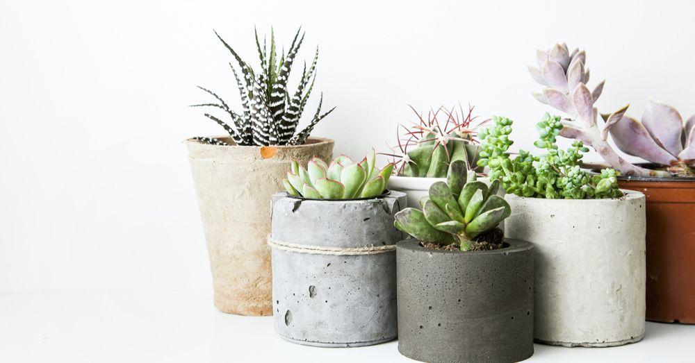C mo cuidar las plantas suculentas blog verdecora - Como cuidar una hortensia de exterior ...