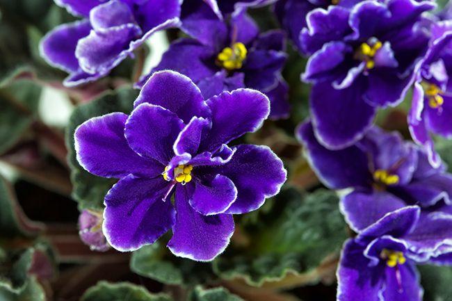 Violetas africanas se mantiene en flor todo el año