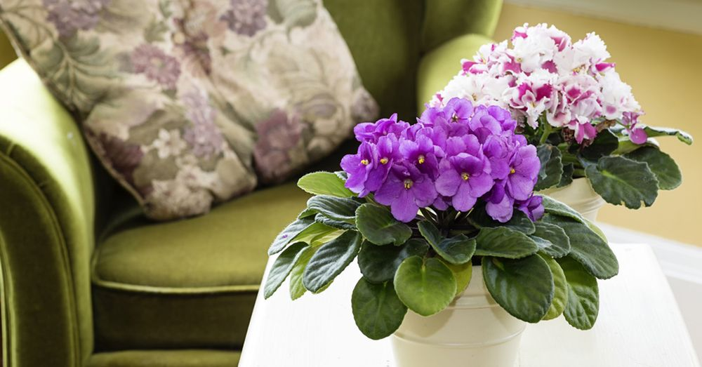 Violeta africana, buena planta de interior