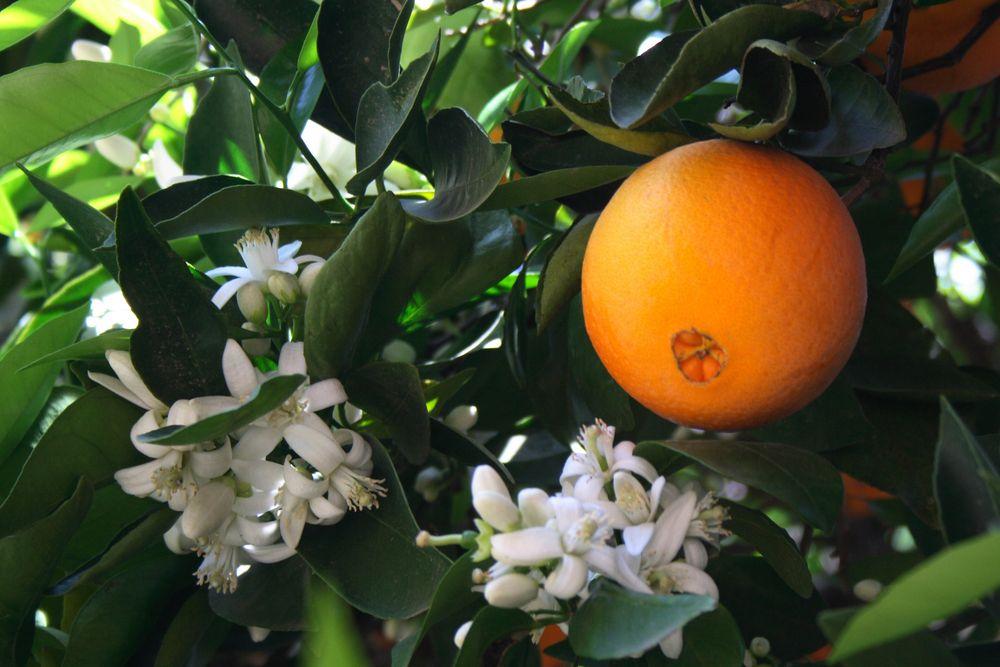 Arboles frutales tener sabor en el jard n consejos - Cuando plantar frutales ...