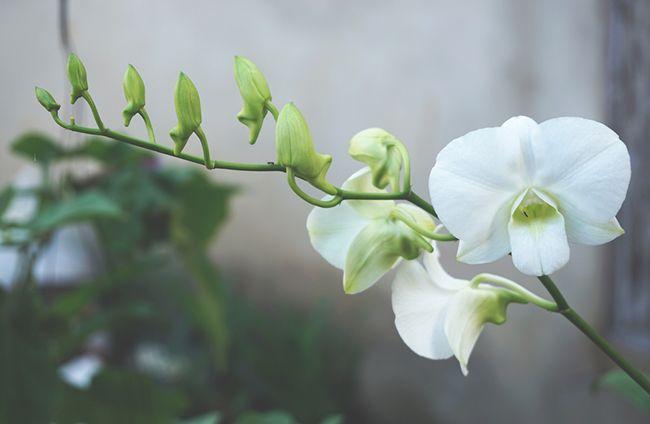 Orquídeas para San Valentín