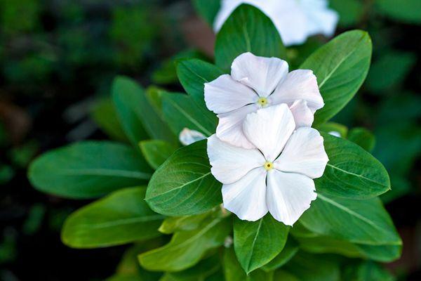 4 plantas ornamentales de interior blog verdecora - Alegria planta cuidados ...