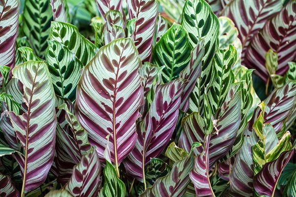 4 plantas ornamentales de interior consejos verdecora for Hojas ornamentales