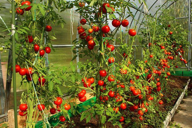 Huerto Entutorar Tomates Paso A Paso Consejos Verdecora