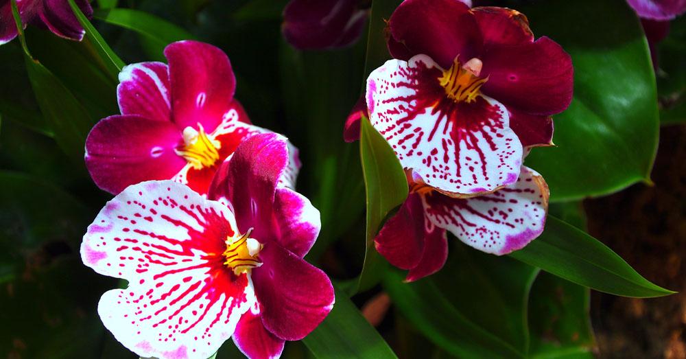 Cuidados De La Orquidea Miltonia Blog Verdecora - Cuidados-de-la-orqudea