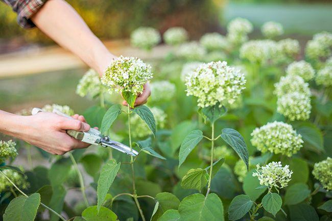 Cuidados de la hortensia blog verdecora - Hortensias cuidados poda ...
