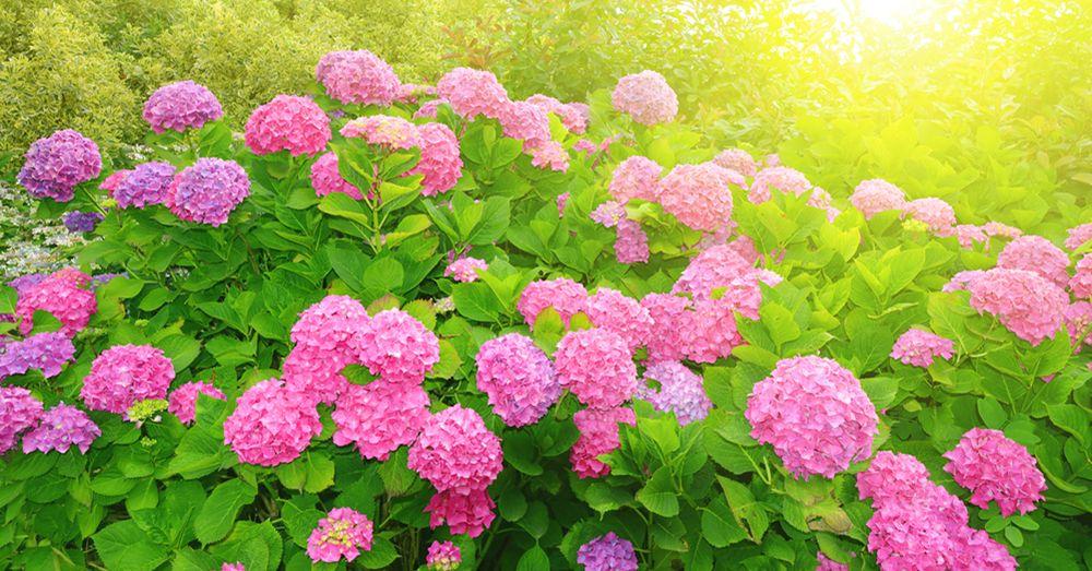Como cuidar una hortensia de exterior latest consejos - Como podar la hortensia ...